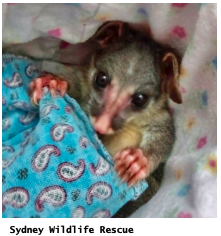 Sydney Wildlife Rescue Photo